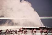 Lesser Flamingo (Phoenicopterus minor ) at Lake Bogoria's geyser and hot springs.Kenya - Stock Image - C4XEKE