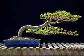 Bonsai Japanese Larch - Stock Image - BAE2EH