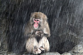 A female Snow Monkey shelters from a snowstorm - Stock Image - D4BDMA