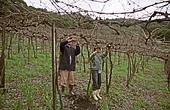 Pruning. Pergola trained vines at Mioranza Winery, Forels da Cunha, Brazil - Stock Image - AXD51R