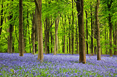 A carpet of bluebells in West Woods near Marlborough. - Stock Image - CRP36C