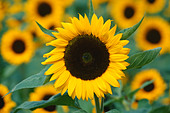 Mass of sunflowers - Stock Image - AG21EA