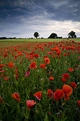 Corn Poppy (Papaver rhoeas) flowering mass, growing at edge of arable field at dusk, Little Bealings, Suffolk, England, june - Stock Image - CNNN6C