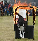 Fordingbridge, Hampshire, UK. 29th Aug, 2015. UK Weather. Saturday 29th August 2015 at the Frogham Fair near Fordingbridge, Hampshire. Spits and spots of rain fail to spoil the fun as the Paws for Thought Dog Display Team put on a show. © View42/Alamy Live News - Stock Image - F180BP