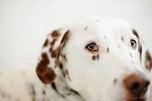 A liver spotted dalmatian looks into the camera lens. - Stock Image - C12HCP