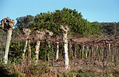 The vineyards of Miolo Wine Groupe, Bento Goncalves, Vale dos Vinhedos, southern Brazil - Stock Image - AXD54Y