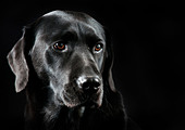 A Black Labrador with a black back drop. - Stock Image - CC493A