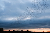 Murmuration exaltation, a starling flock forms a fantastic acrobatic mass before roosting at Brandon Marsh Warwickshire - Stock Image - BWK1X8