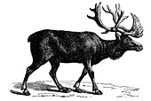 Reindeer - Stock Image - CC6N6A