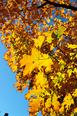 Vibrantly Colored Autumn Leaves - Stock Image - AJXMWK