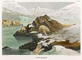 Polar Bear Fredol - Stock Image - AY4T65