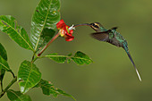 Green Hermit (Phaethornis guy) flying and feeding at a flower in Costa Rica. - Stock Image - CFD99J