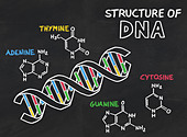 chemical structure of DNA on a blackboard - Stock Image - D12RMF