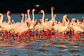 Lesser Flamingo (Phoenicopterus minor) at Lake Bogoria.Kenya - Stock Image - C4XCP5