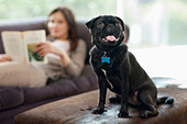 Panting dog sitting on ottoman - Stock Image - D5WYAR