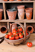 Freshly picked home grown tomatoes in trug in rustic potting shed setting. - Stock Image - CF9ABC