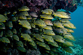 Mass of schooling fish. - Stock Image - BBG1D5