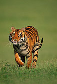 Bengal tiger male running, Panthera tigris tigris, Native to India - Stock Image - BF8M93