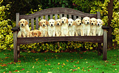 11 pure bred Golden Retriever pups sitting on a bench, UK. - Stock Image - AD3AE5