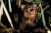 South America, Ecuador, Amazon. Jaguarundi (Herpailurus yaguarondi) - Stock Image - AP46P3