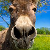 Donkey, closeup - Stock Image - CY5GT3