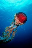 Giant Jellyfish Chrysaora sp California Pacific Ocean - Stock Image - ATDNXM