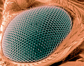 Scanning electron microscope image of an eye on a fruit fly. - Stock Image - CTP8JC