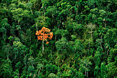Erythrina tree in rainforest (aerial), Vilcabamba, Peru - Stock Image - BF90AT