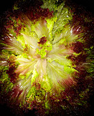 Lettuce - Stock Image - BFDMED