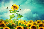 concept image of a tall sunflower standing out and attracting more bees - Stock Image - A30T8X