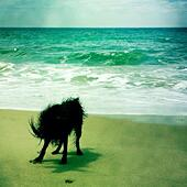 A black labradoodle dog shakin off water at the beach. Ventura California USA. - Stock Image - S06DWC