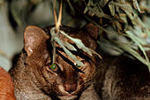 jaguarundi (Felis yagouaroundi, Herpailurus yagouaroundi), portrait - Stock Image - EBK635