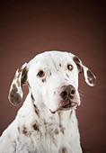Portrait of a dalmatian against a brown background. - Stock Image - C12H3H