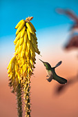 The Netherlands, Oranjestad, Sint Eustatius Island, Dutch Caribbean. Antillean Crested Hummingbird. Female. - Stock Image - C9111E