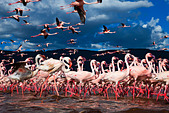 Lesser Flamingo (Phoenicopterus minor) at Lake Bogoria.Kenya - Stock Image - C4XCCP