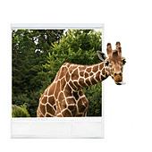 Photograph of giraffe, giraffe's head sticking out of photograph frame - Stock Image - C4TJ8N