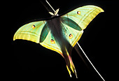 Indian Moon Moth, Actias selene, Asia - Stock Image - DD1PBX