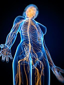 Nervous system  artwork - Stock Image - CNG9GH