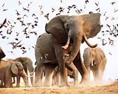 African elephants disturbing flock of birds Savuti Botswana - Stock Image - A32953