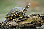 Resting turtle at Brazos Bend State Park, Texas, United States of America - Stock Image - CFDGTJ