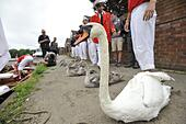 London, UK. 20th July 2015. The swan upping team travel along the river Thames capturing and measuring the year's signets. The tradition was started in the 1700s as a way of keeping track of the numbers of swans, and is now useful for their conservation. © Andrew Walmsley/Alamy Live News - Stock Image - EY2GY2