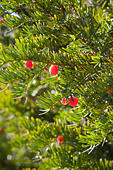 Yew berries on a tree in the churchyard of St James church in the Cotswold village of Cranham Gloucestershire - Stock Image - AA7BXW
