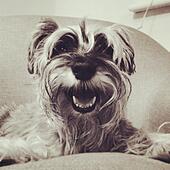 Miniature Schnauzer Dog. - Stock Image - S00G76