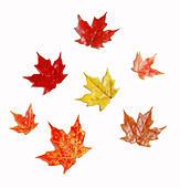Outline of fabric fall leaves - Stock Image - BG02BW