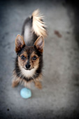 small dog looking up with blue ball - Stock Image - CEG6D2