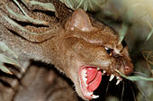 jaguarundi (Felis yagouaroundi, Herpailurus yagouaroundi), growling - Stock Image - EBK636