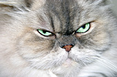 Persian Cat - Stock Image - AKKDCB