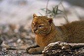 Wieselkatze, Jaguarundi (Felis yagouaroundi), sitzend,  ,  ,   | jaguarundi (Felis yagouaroundi), sitting,  ,  , - Stock Image - ETP3T6