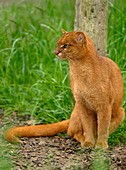 Jaguarundi Herpailurus yaguarundi Central and Tropical South America Captive Red colour phase - Stock Image - AD0BNE
