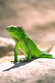 A green Iguana posing for a photograph in the beautiful island of Aruba - Stock Image - AGCF16